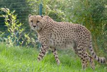 Gepard im Tierpark Aachen